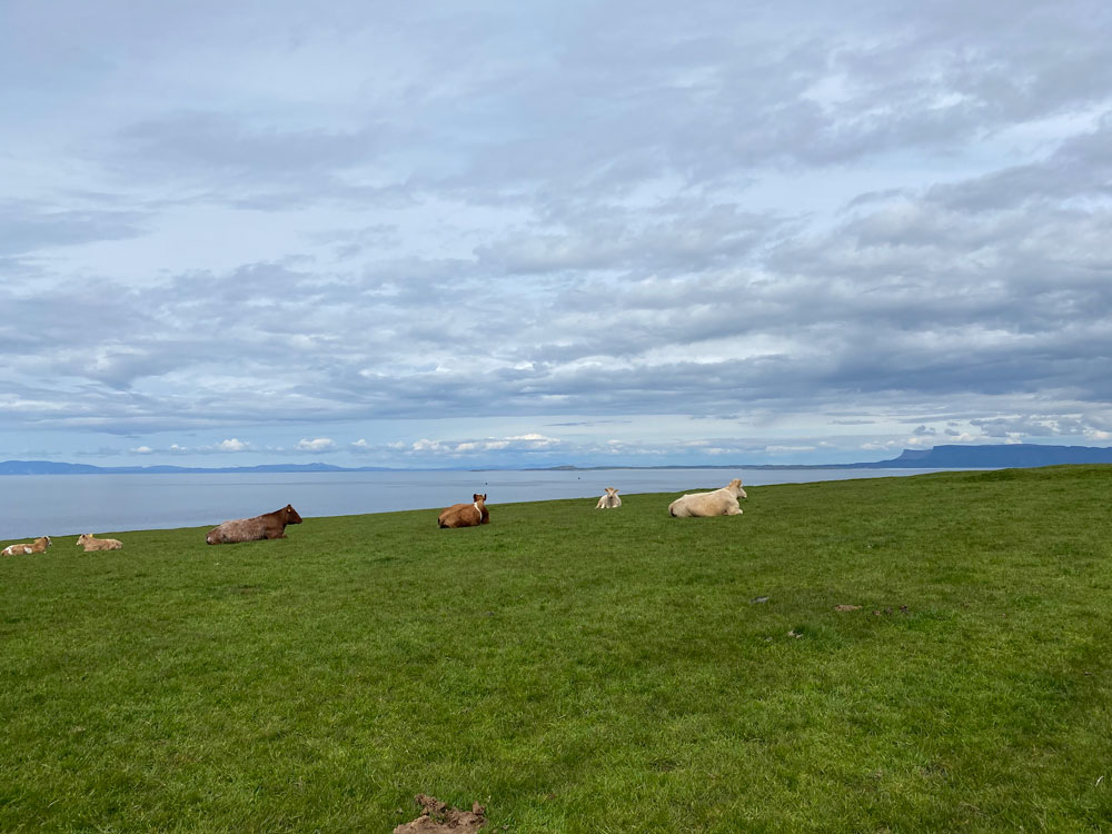 cows laying on grass overlooking the wild atlantic way